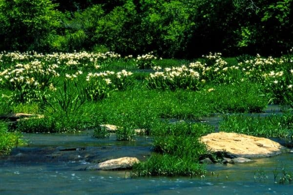 Cahaba river lilies